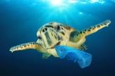 Turtle eating garbage